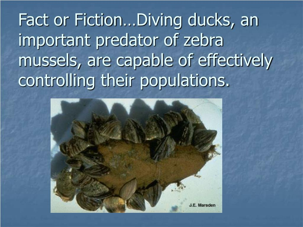 Fact or Fiction…Diving ducks, an important predator of zebra mussels, are capable of effectively controlling their populations.