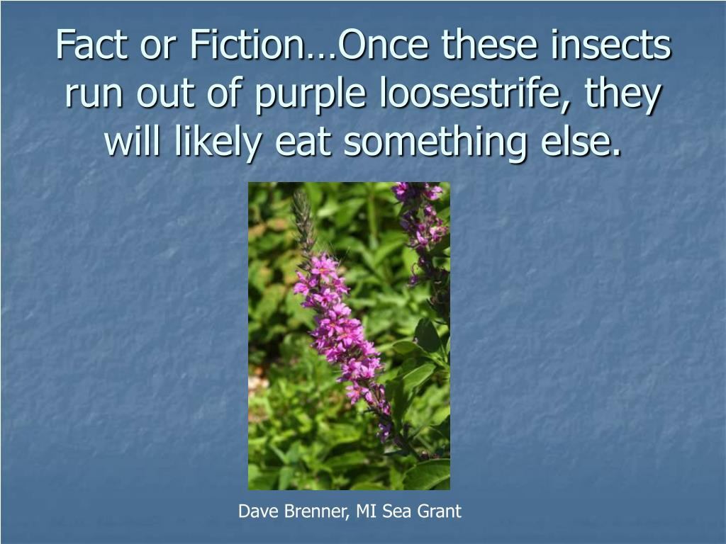 Fact or Fiction…Once these insects run out of purple loosestrife, they will likely eat something else.