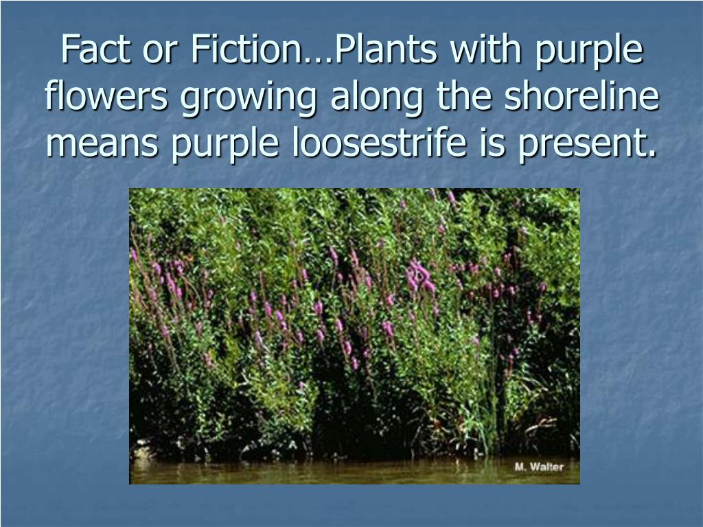 Fact or Fiction…Plants with purple flowers growing along the shoreline means purple loosestrife is present.