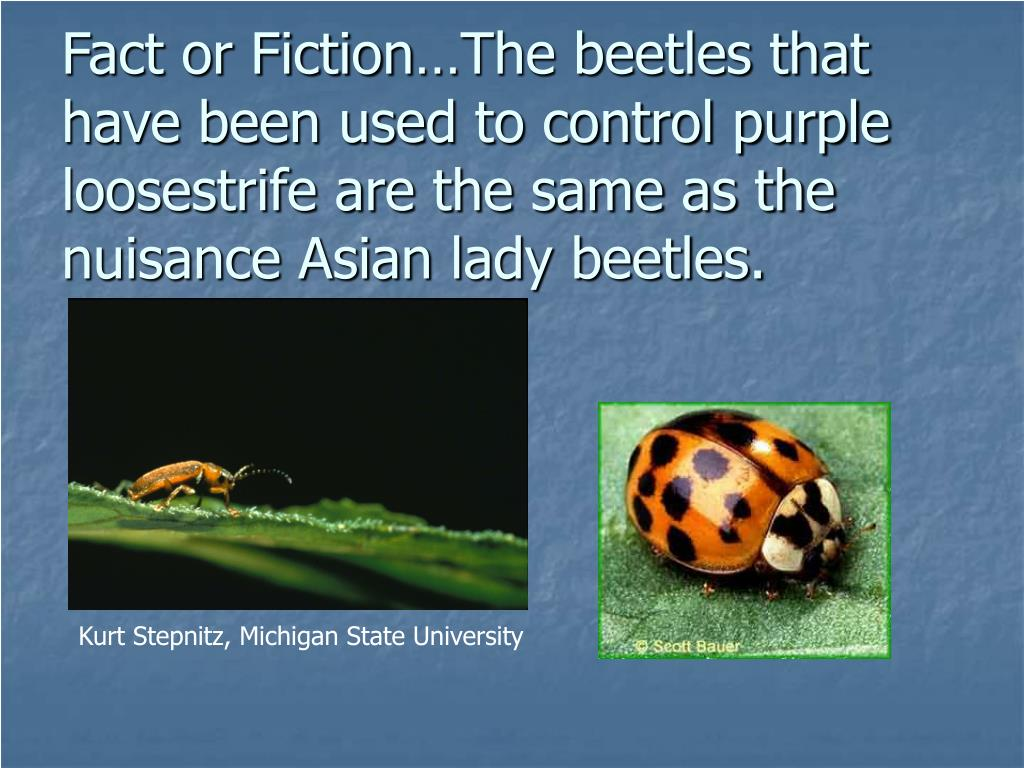 Fact or Fiction…The beetles that have been used to control purple loosestrife are the same as the nuisance Asian lady beetles.