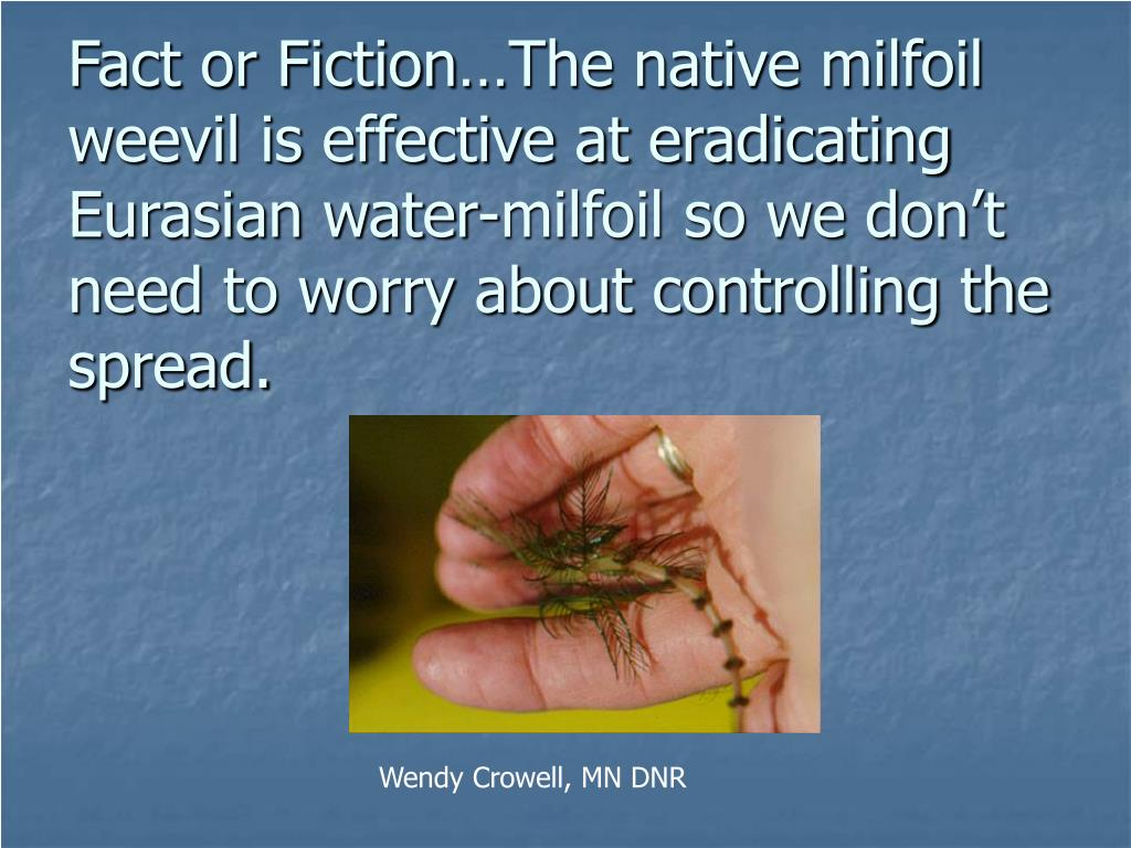 Fact or Fiction…The native milfoil weevil is effective at eradicating Eurasian water-milfoil so we don't need to worry about controlling the spread.