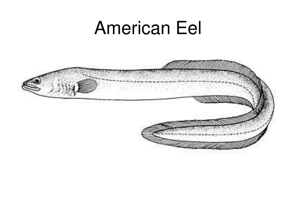 American Eel