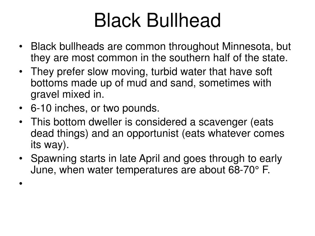 Black Bullhead