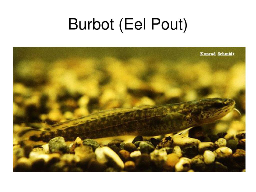 Burbot (Eel Pout)
