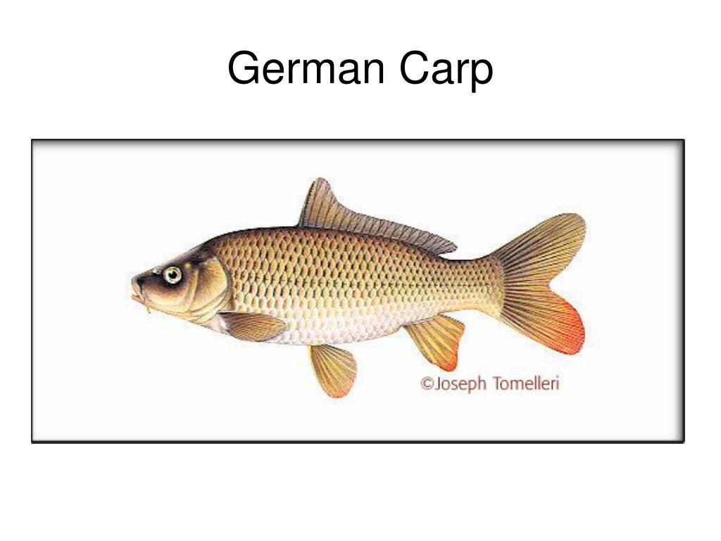 German Carp