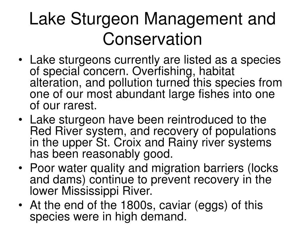 Lake Sturgeon Management and Conservation