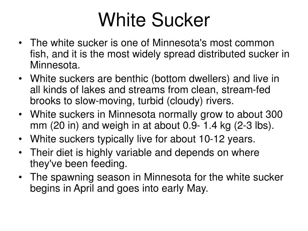 White Sucker