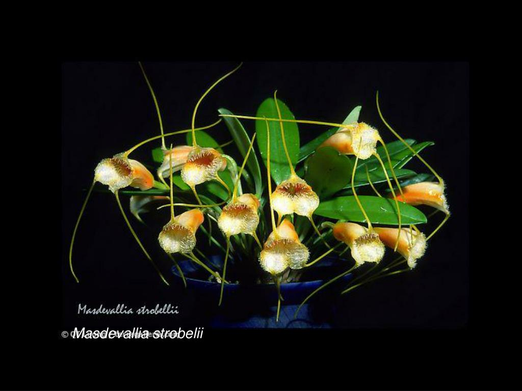 Masdevallia strobelii