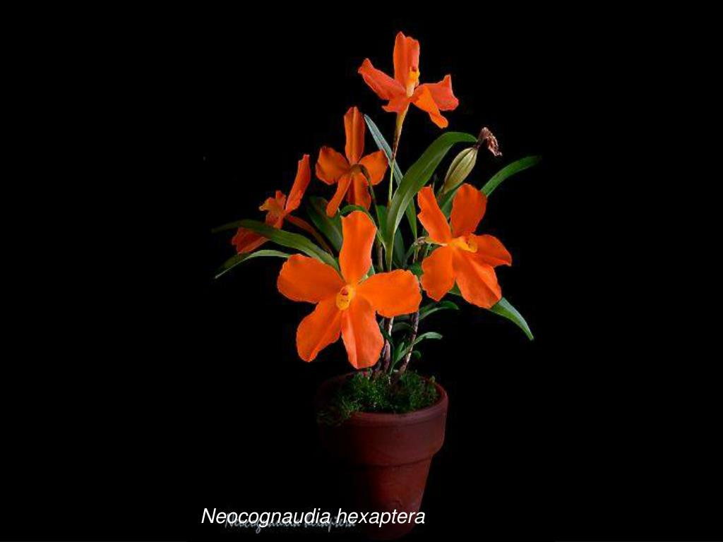 Neocognaudia hexaptera