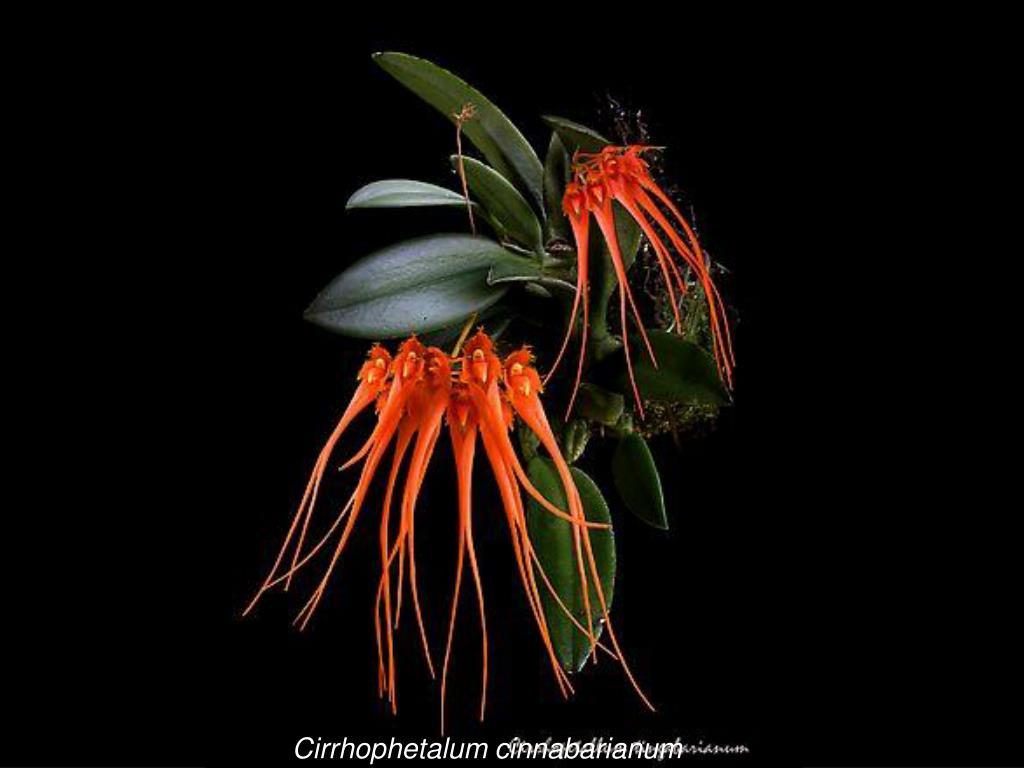 Cirrhophetalum cinnabarianum