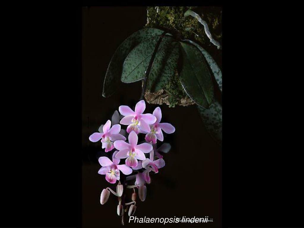 Phalaenopsis lindenii
