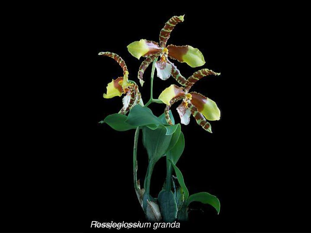 Rossioglossium granda