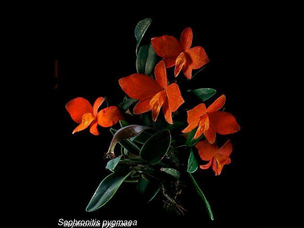 Sophronitis pygmaea