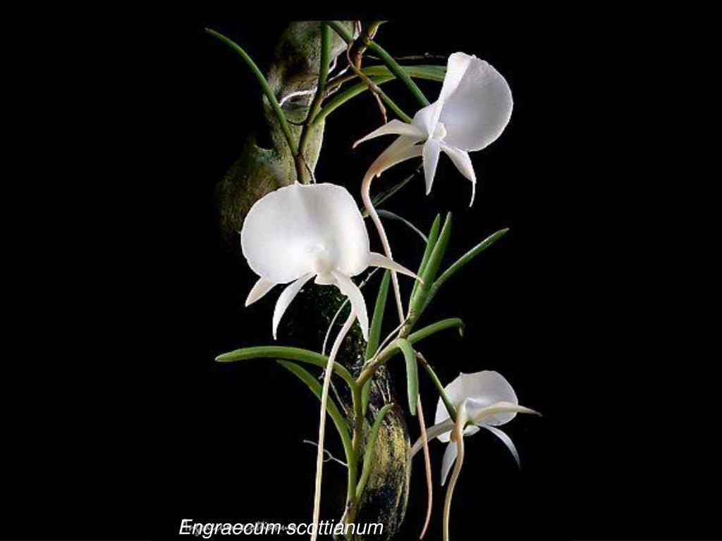 Engraecum scottianum