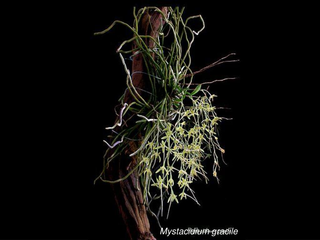 Mystacidium gracile