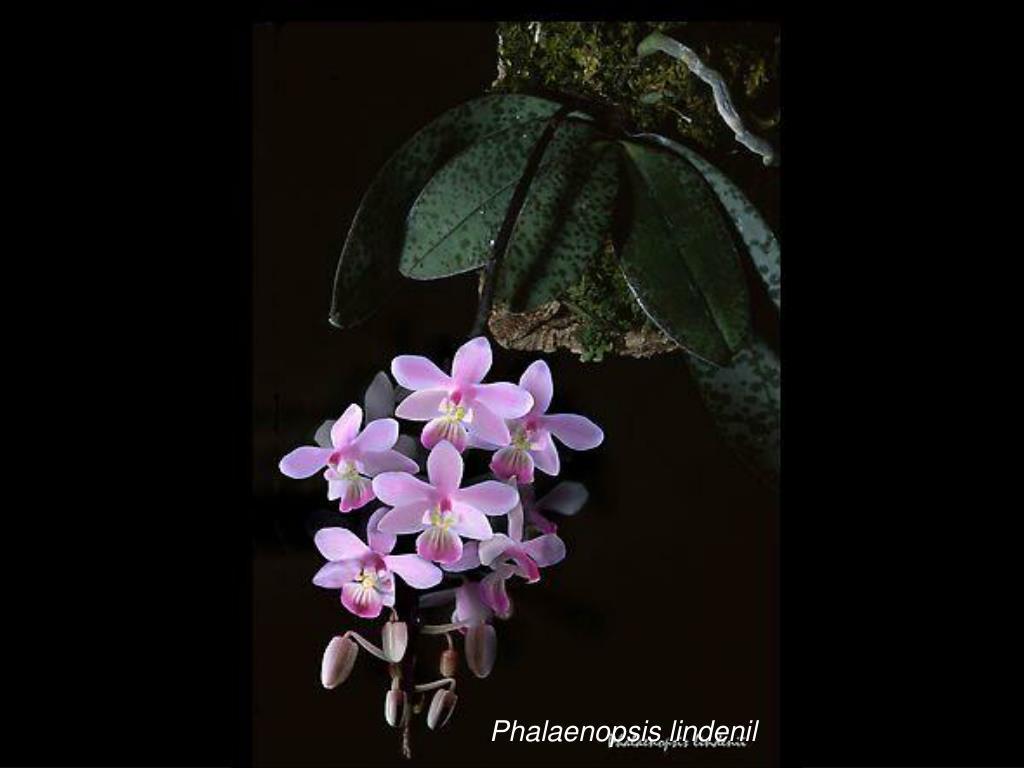 Phalaenopsis lindenil