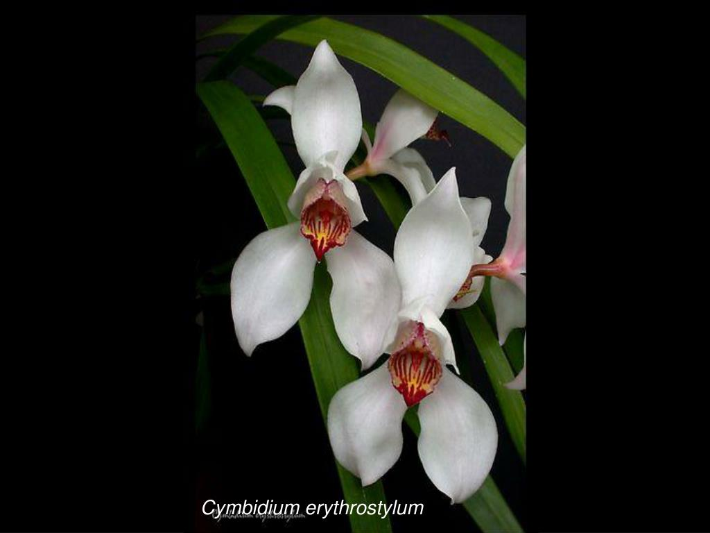 Cymbidium erythrostylum