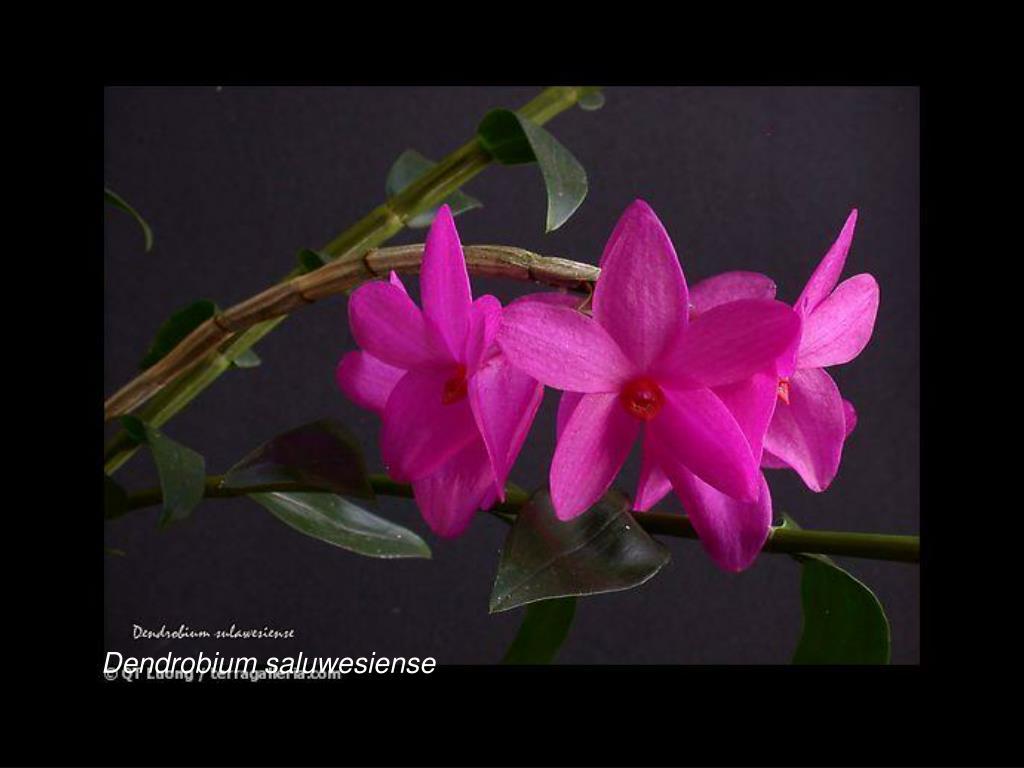 Dendrobium saluwesiense