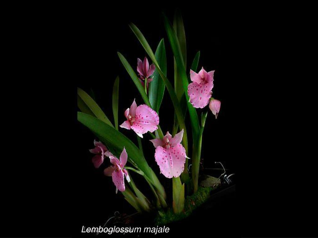 Lemboglossum majale
