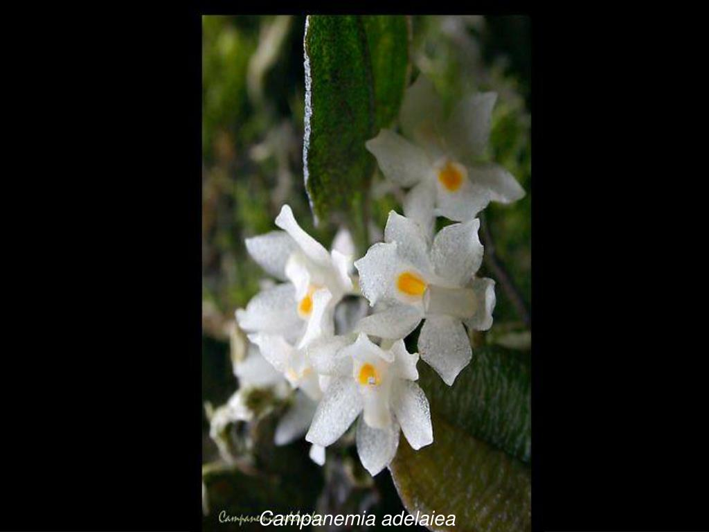 Campanemia adelaiea