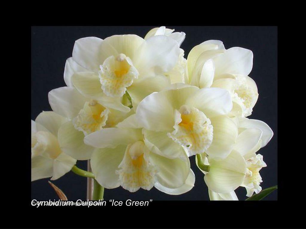"Cymbidium Culpolin ""Ice Green"""