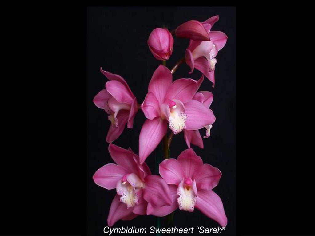 "Cymbidium Sweetheart ""Sarah"
