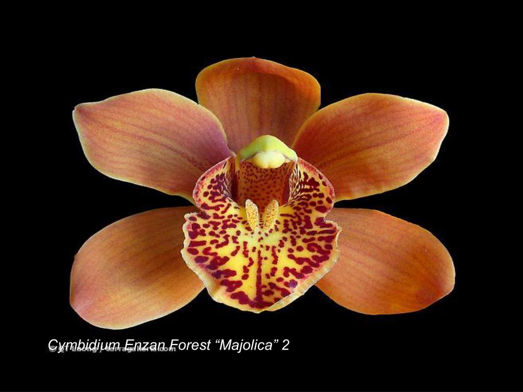 "Cymbidium Enzan Forest ""Majolica"" 2"