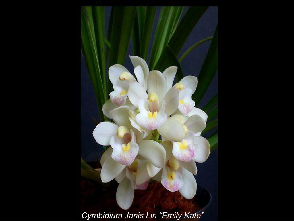"Cymbidium Janis Lin ""Emily Kate"""