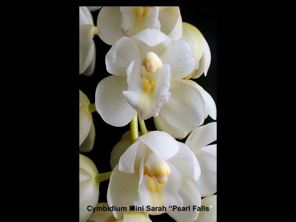 """Cymbidium Mini Sarah """"Pearl Falls"""