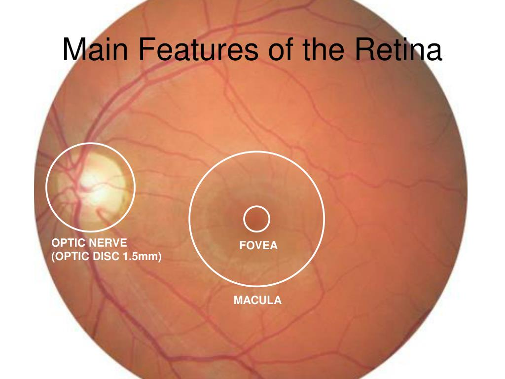 Main Features of the Retina