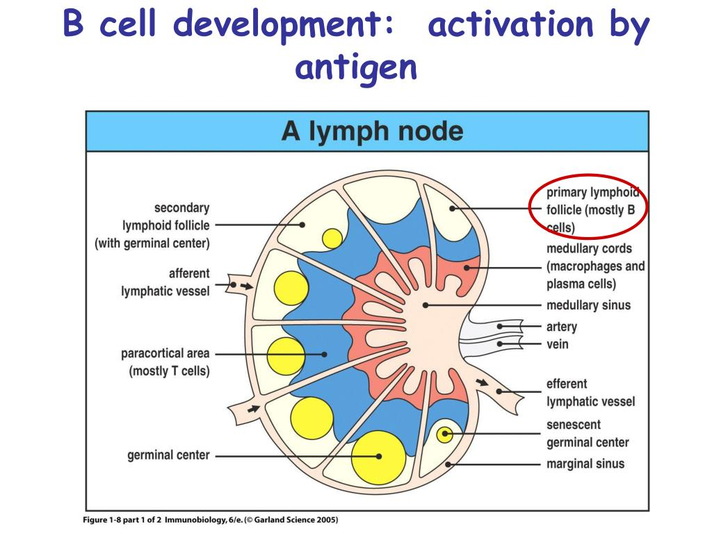 B cell development:  activation by antigen