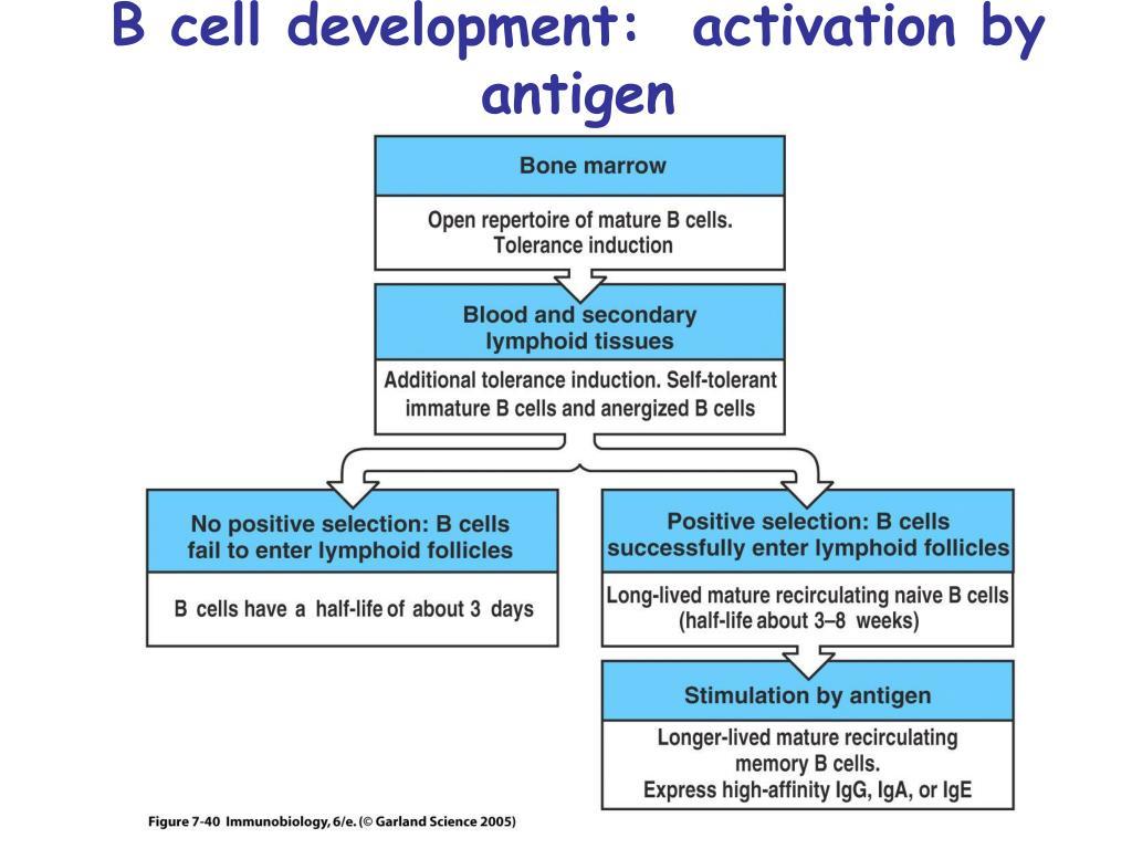 B cell development:  activation by antigen