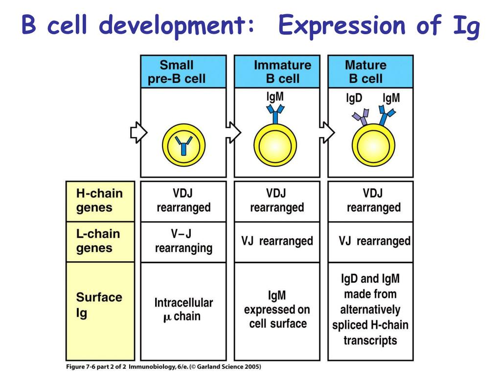 B cell development:  Expression of Ig