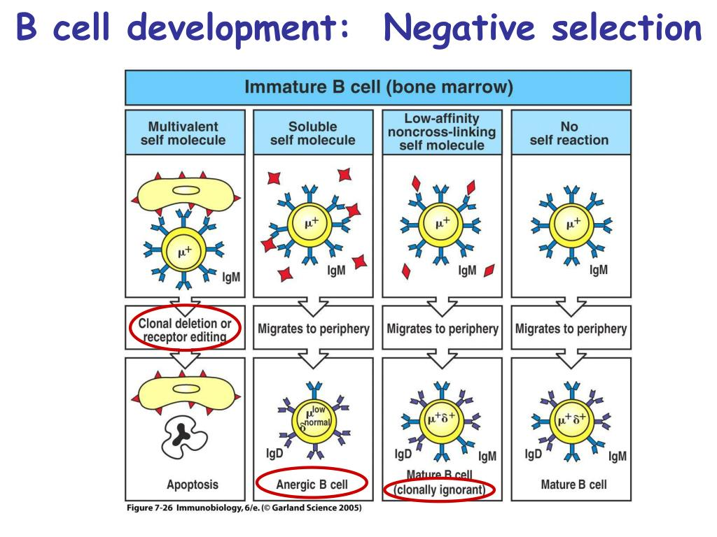 B cell development:  Negative selection