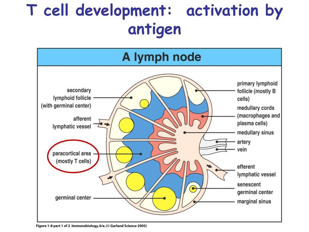 T cell development:  activation by antigen