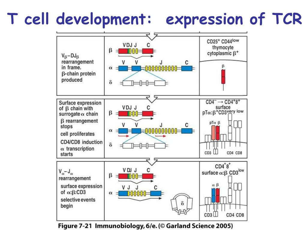 T cell development:  expression of TCR