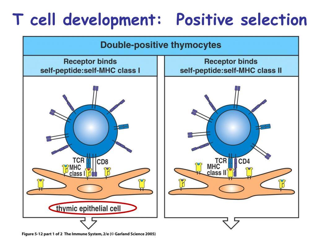T cell development:  Positive selection