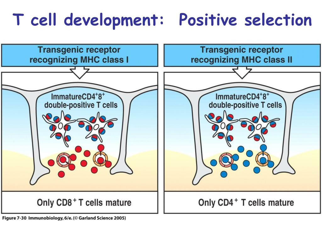 T cell development:  Positive selection