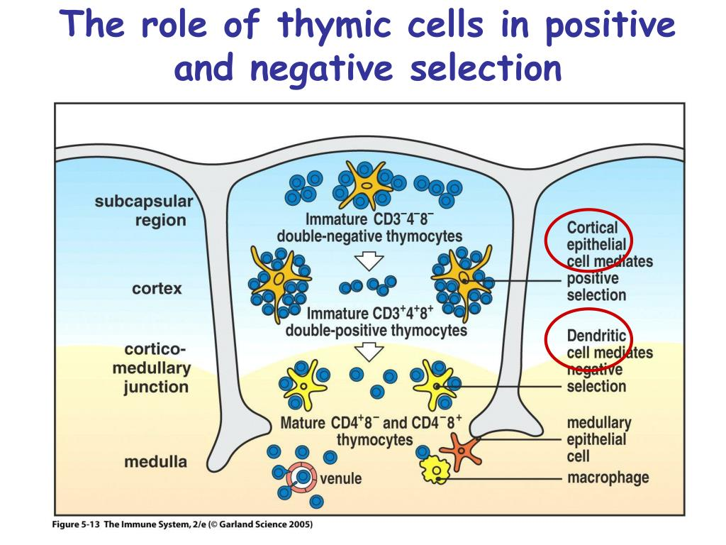 The role of thymic cells in positive and negative selection