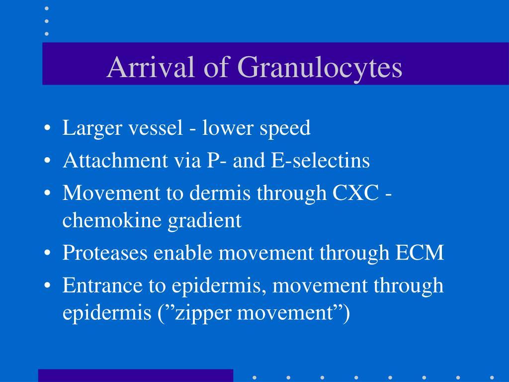 Arrival of Granulocytes