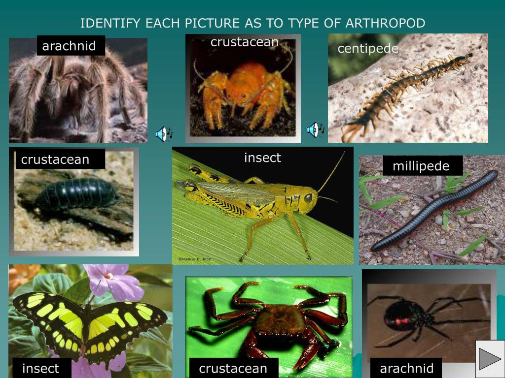 IDENTIFY EACH PICTURE AS TO TYPE OF ARTHROPOD