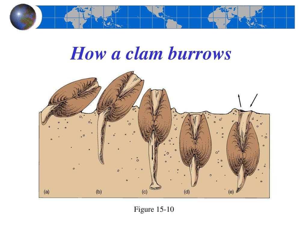 How a clam burrows