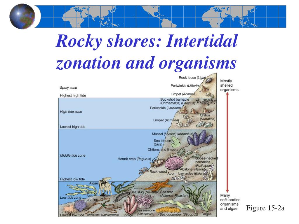Rocky shores: Intertidal zonation and organisms