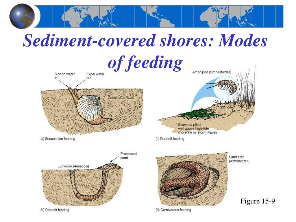 Sediment-covered shores: Modes of feeding