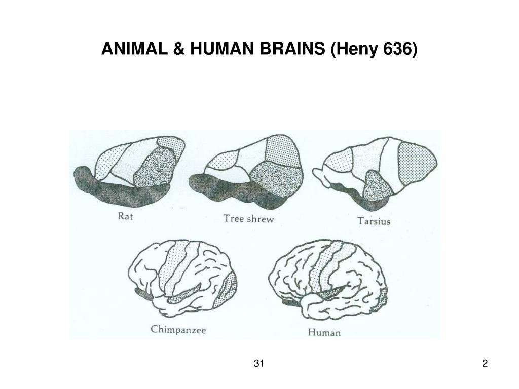 ANIMAL & HUMAN BRAINS (Heny 636)