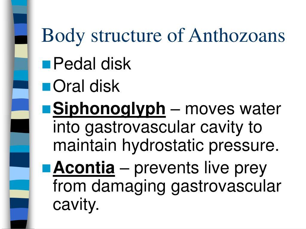 Body structure of Anthozoans