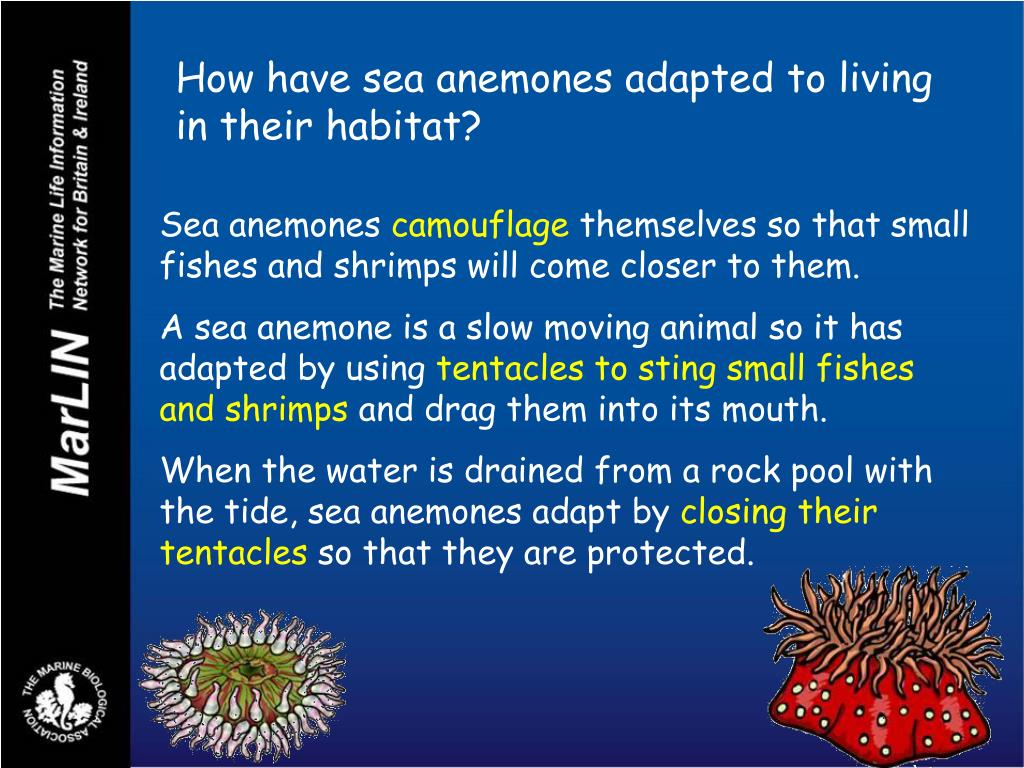 How have sea anemones adapted to living in their habitat?