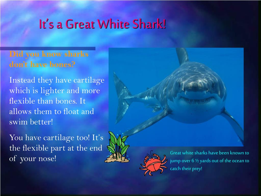 It's a Great White Shark!