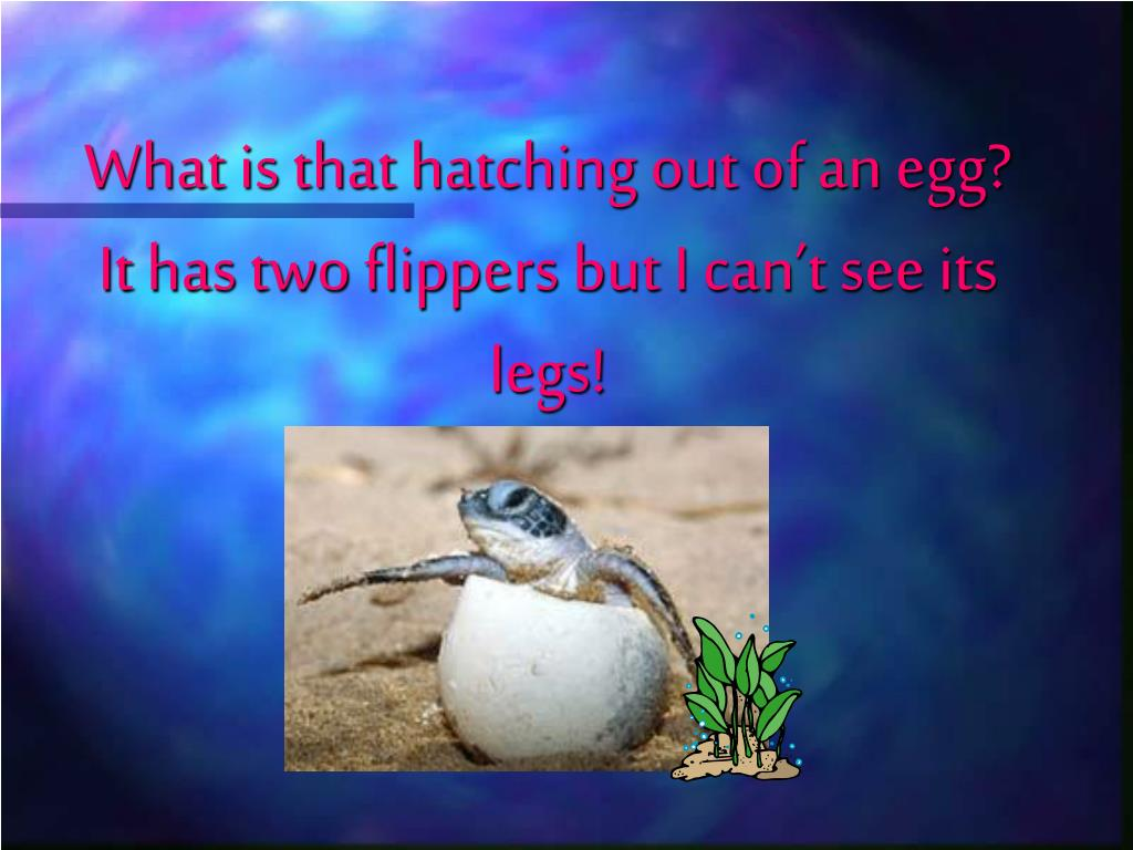 What is that hatching out of an egg? It has two flippers but I can't see its legs!