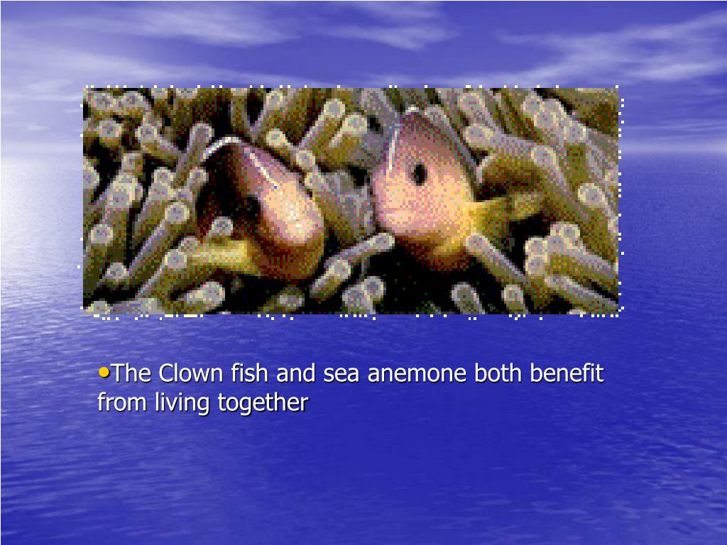 The Clown fish and sea anemone both benefit from living together